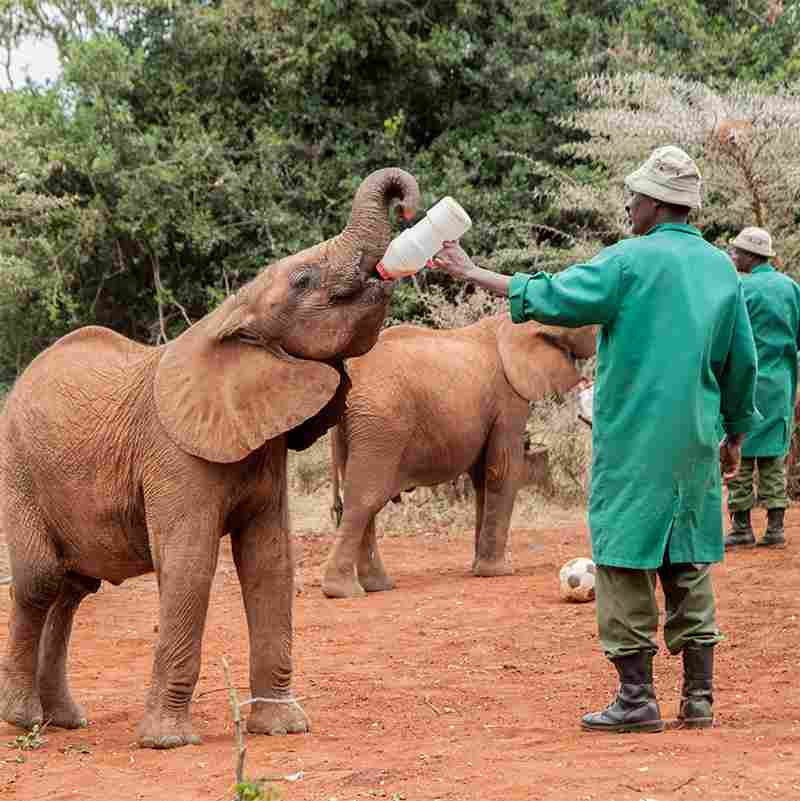 Elephant Drinking Milk